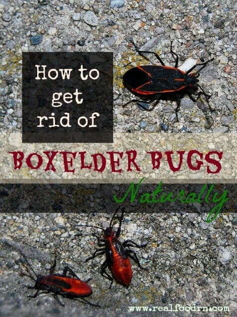 How To Get Rid Of Boxelder Bugs Naturally | Real Food RN