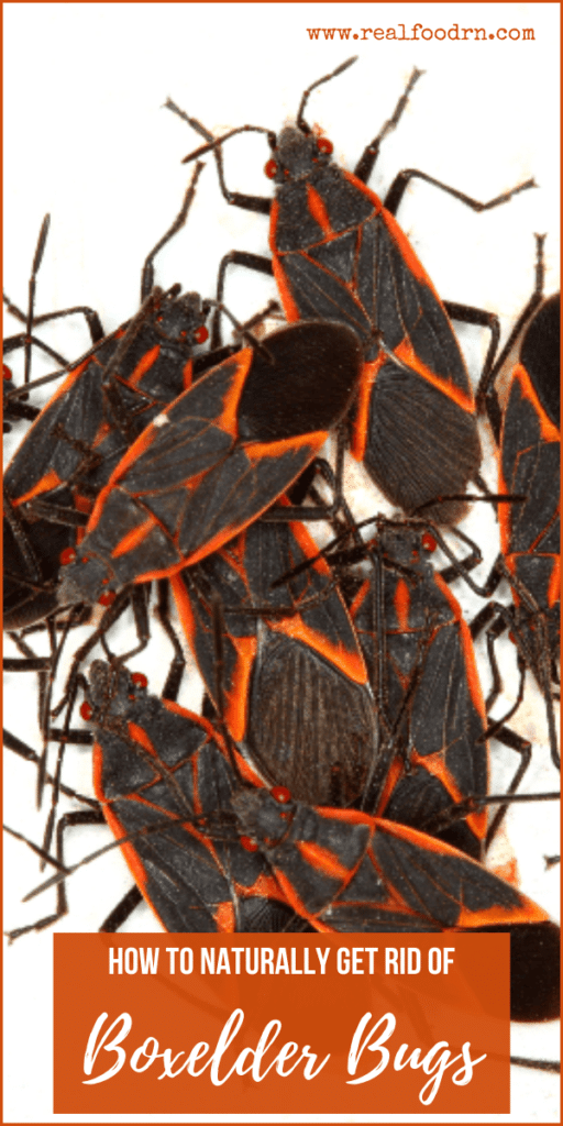 How to Naturally Get Rid of Boxelder Bugs | Real Food RN