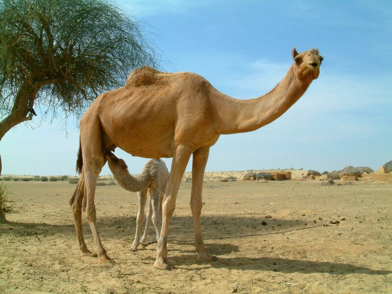 Health Benefits of Camel Milk | Real Food RN
